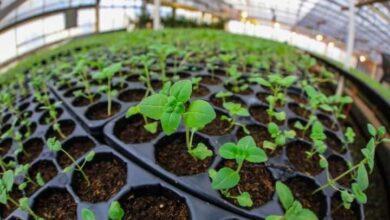 """Photo of PLANTINES 2021: CRONOGRAMA DE ENTREGA PARA PRODUCTORES INSCRIPTOS  EN EL PROGRAMA """"RGA AGRO PRODUCTIVO"""""""